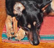 Guarding a bone Stock Image