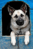 Sheep dog. Is in a house Royalty Free Stock Photo