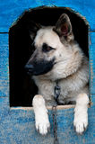 Sheep dog. Is in a house Royalty Free Stock Image