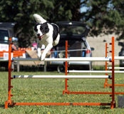 Sheep Dog Jumping Stock Photos