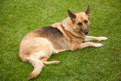 Sheep-dog laying on the green grass Royalty Free Stock Photography
