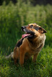 German shepherd lies in garden. Germany shepherd lies in a garden and looking up Royalty Free Stock Images