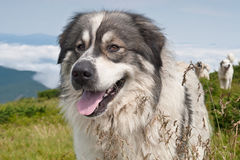 Sheep dog on mountain pasture Royalty Free Stock Photos