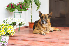 Sheep Dog on Porch Royalty Free Stock Images