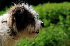 Sheep dog portrait Stock Image