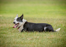 Sheep  dog 4 Royalty Free Stock Image