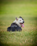 Sheep  dog 5 Stock Photography