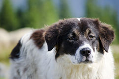 Sheep dog Royalty Free Stock Image