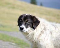 Romanian sheep dog Royalty Free Stock Photography
