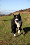 Sheep dog running. Boarder collie sheep dog running over hills Royalty Free Stock Photo