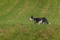 Sheep Dog Runs Left Ears Up Royalty Free Stock Photography