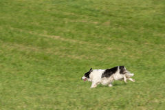 Sheep Dog Runs Left Through Field Stock Photography
