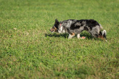 Sheep Dog Runs Left At Herding Trial Royalty Free Stock Images
