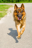 Sheep-dog runs towards. Huge German shepherd promptly rushes directly on camera Stock Photography