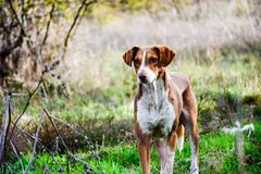 Sheep dog. Guard in a sunny autumn day Royalty Free Stock Photography