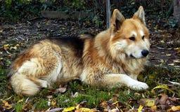 Crossbreed sheepdog royalty free stock photos