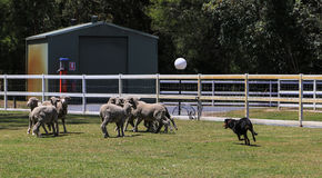 Sheep dog show in paradise country aussie farm,gold coast,australia Royalty Free Stock Image
