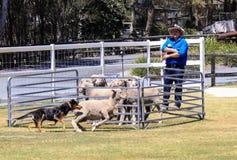Sheep dog show in paradise country aussie farm,gold coast,australia Royalty Free Stock Photo