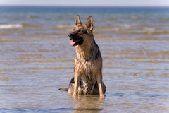 Sheep-dog sitting in water Royalty Free Stock Photos
