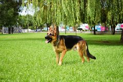 The beautiful sheep dog in the park royalty free stock photos