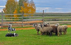 Sheep dog training. Two Border Collies working as sheepdogs with flock of sheep in a meadow stock image
