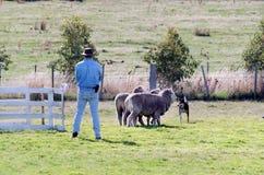Sheep dog trials stock photos
