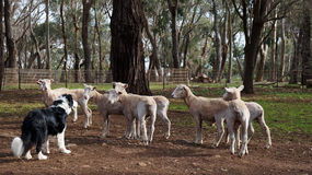 Sheep dog trials Royalty Free Stock Images