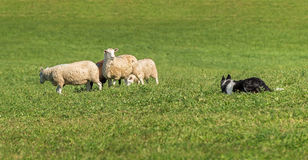 Sheep Dog Watches and Is Watched By Group of Sheep Ovis aries Royalty Free Stock Photo