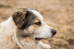 Sheep dog watching the herd Royalty Free Stock Images