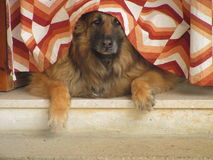 Sheep dog. A sheep dog is watching you under a curtain Royalty Free Stock Images