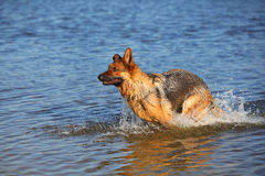 Sheep-dog in water Royalty Free Stock Photography