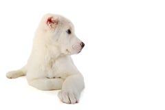 Sheep-dog on a white background Royalty Free Stock Photo