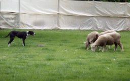Sheep Dog at Work Royalty Free Stock Images