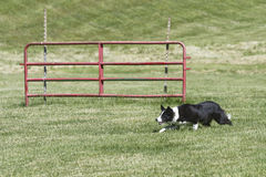 Sheep Dog working Royalty Free Stock Photography