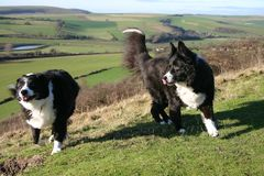 Sheep dogs. 2 boarder collie dogs on a hill Royalty Free Stock Photo