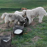 Sheep dogs eating Royalty Free Stock Photography