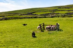 Sheep dogs herding sheep on grass field. Sheep dogs gathering flock on farm pasture Stock Photography