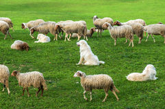 Sheep and dogs on green grass field Royalty Free Stock Photography