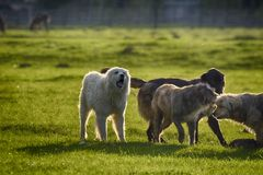 Sheep dogs playing in the meadow. Stock Images