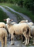 Sheep Dolly. Sheep on the road Royalty Free Stock Image