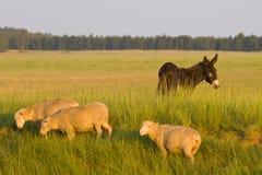 Sheep and donkey farm scene. Farm landscape scene with three sheep and a brown donkey Royalty Free Stock Photos