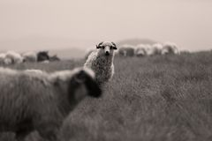 Sheep and donkey on mountain peaks. Flock of sheep on the mountain peaks, close-up view Stock Photography