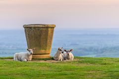 Sheep on Dovers Hill near the topograph stock photo