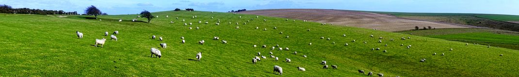 Sheep on the Downs Royalty Free Stock Photography