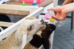 Sheep is drinking milk from nursing bottle. A photo of sheep drinking milk from nursing bottle stock images