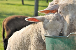 Sheep drinking in throught. Close on ewe and lamb drinking together in trough royalty free stock photography