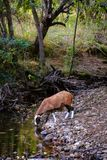 Sheep drinking water on a beautiful mountain river. Royalty Free Stock Images