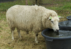 Sheep drinking water Stock Photo