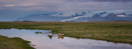 Sheep drinking water in Iceland Royalty Free Stock Photo