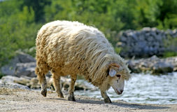 Sheep drinking water from lake Stock Image